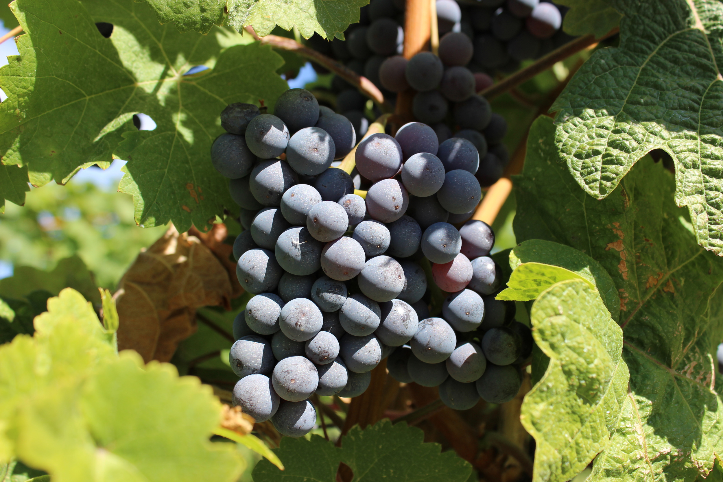 Just one more awesome shot that Dave took.  These grapes were at Gray Monk Winery.