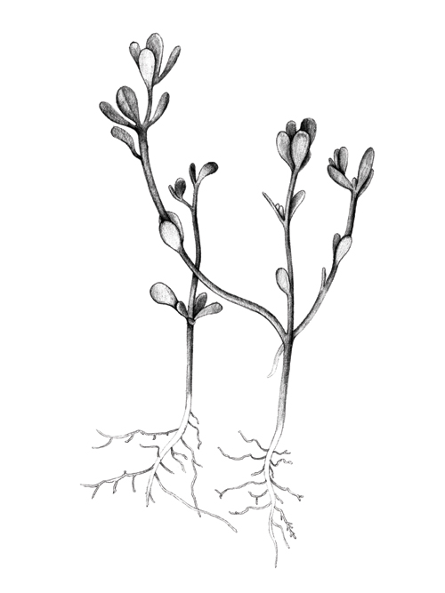 - Botanical illustration — Talya Baldwin Illustration