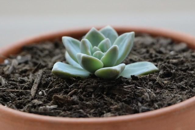 Las suculentas propagar a través de agujas Hojas +. Aprender cómo propagar suculentas de las hojas y recortes.
