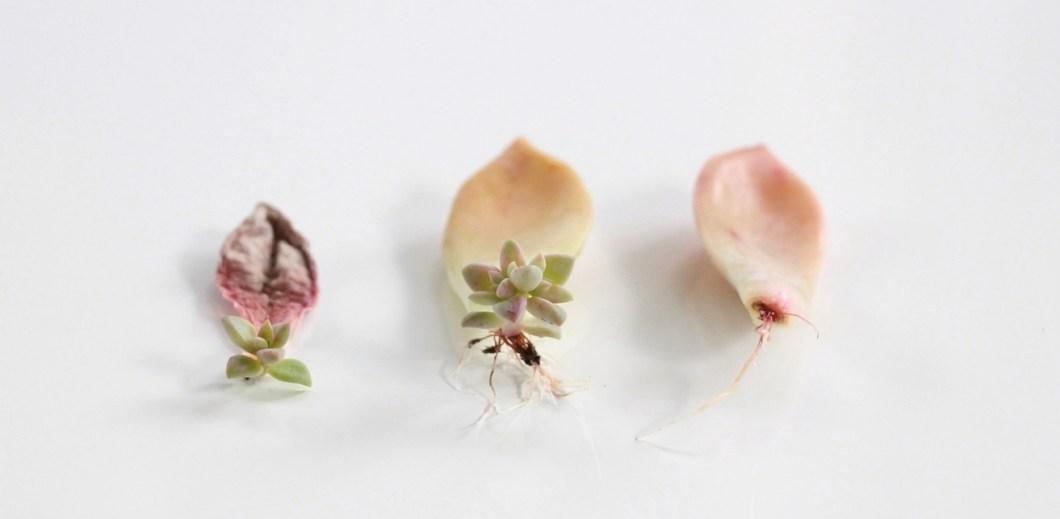 cómo-a-Propagar-suculentas-de-hojas-y-cortes-needlesandleaves_net.jpg