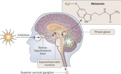 「melatonin pathway」の画像検索結果