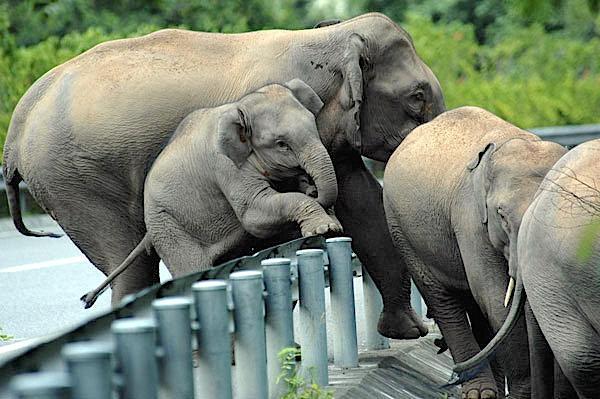 Road-Elephants-Wild elephants climb expressway guardrails in Xishuangbanna NNR China.org.cn[1].jpg