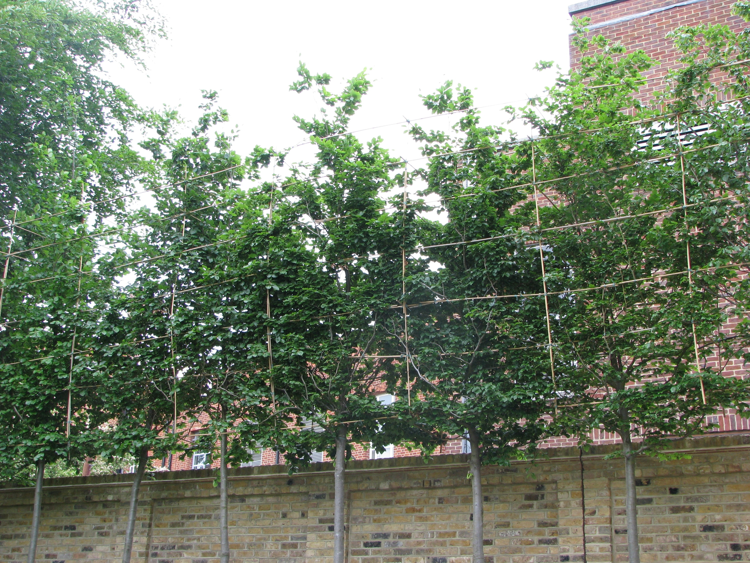 Tips and Advice on Screening Trees  Ruskins Trees
