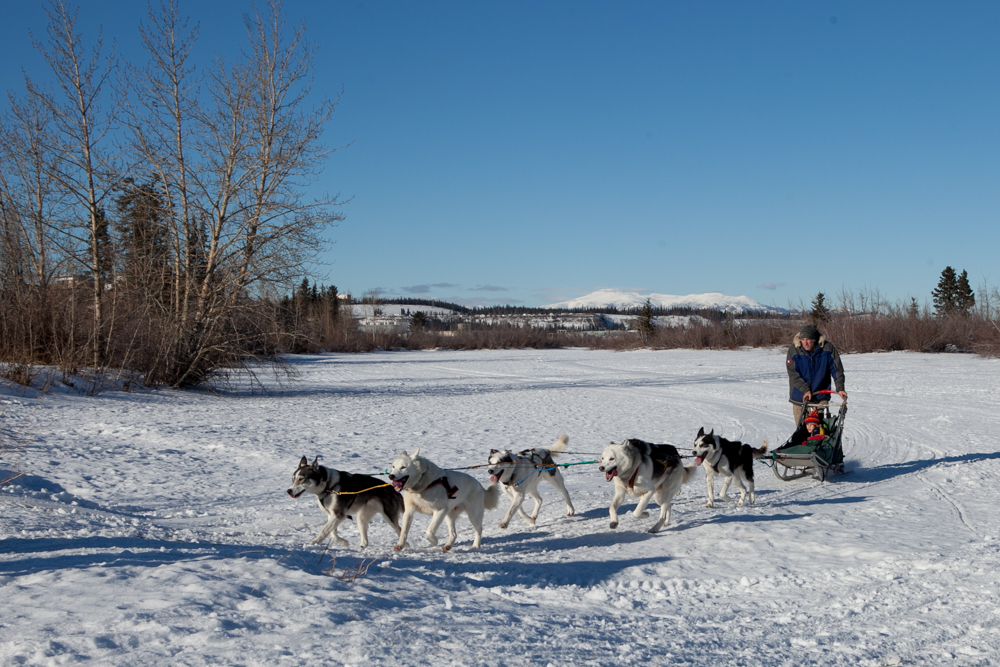 Our little guy rode with another across the frozen Yukon River. Ride was about 5 minutes but it was long enough for them to really enjoy themselves. The rides were provided by Muktuk Adventures who, amongst other things, are and an adventure company. So a big thanks to all their dogs and volunteers.