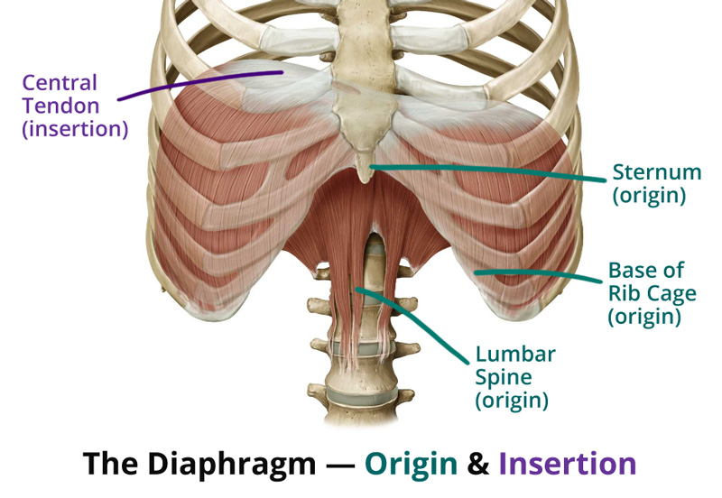 diagram of rib cage and muscles origami gun chest breath vs belly what s the deal in pursuit yoga diaphragm origin insertion