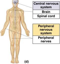 peripheral nervous system [ 914 x 1046 Pixel ]