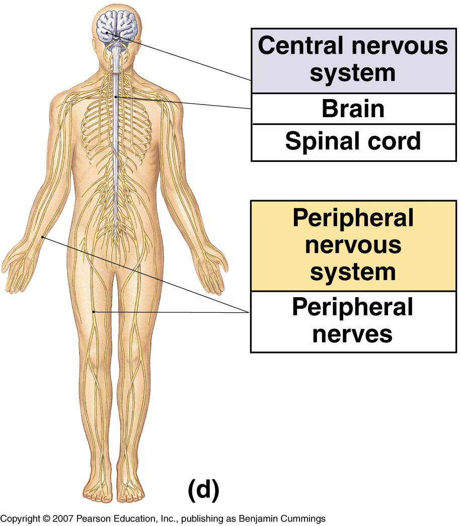 hight resolution of peripheral nervous system