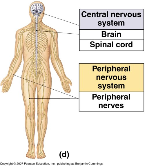 small resolution of peripheral nervous system