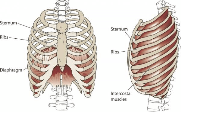 diagram of rib cage and muscles rainforest ecosystem blowing up a balloon rayner smale the ribcage diaphragm image source google images
