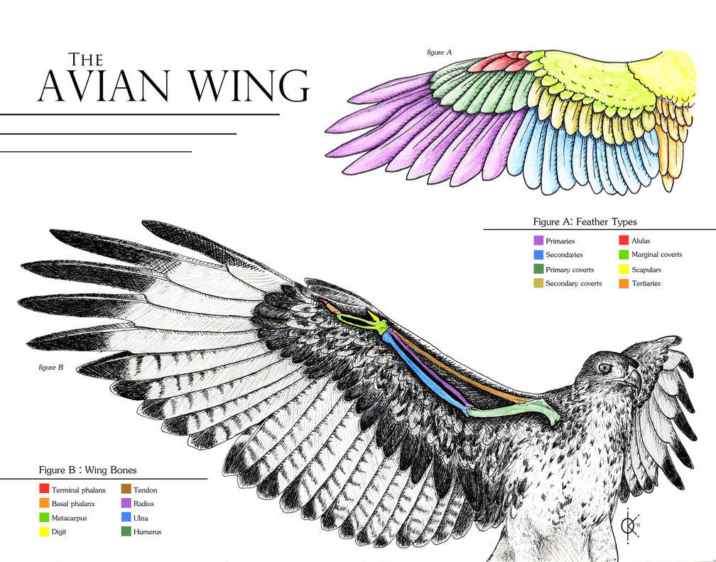 golden eagle skeleton diagram 1998 ford mustang ac wiring vr section 2 ojai raptor center avian wing anatomy by silverfyre d4e2qil jpg
