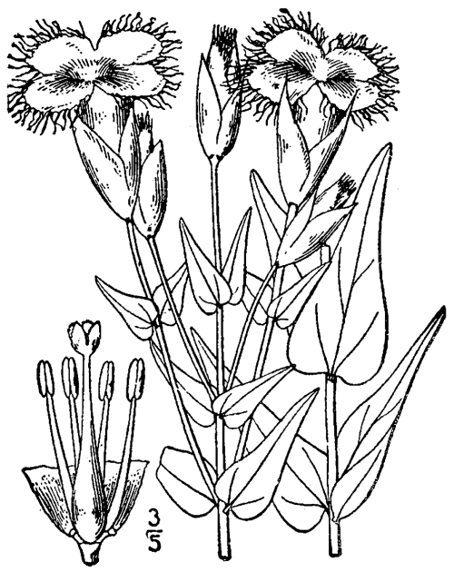 gentianopsis crinita — THE NATIVE PLANT SOCIETY OF