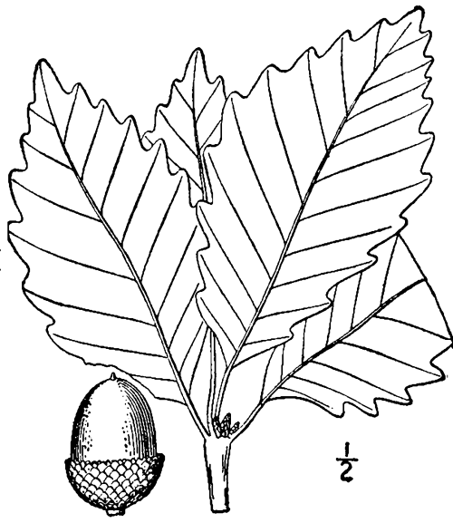 quercus montana — THE NATIVE PLANT SOCIETY OF NORTHEASTERN
