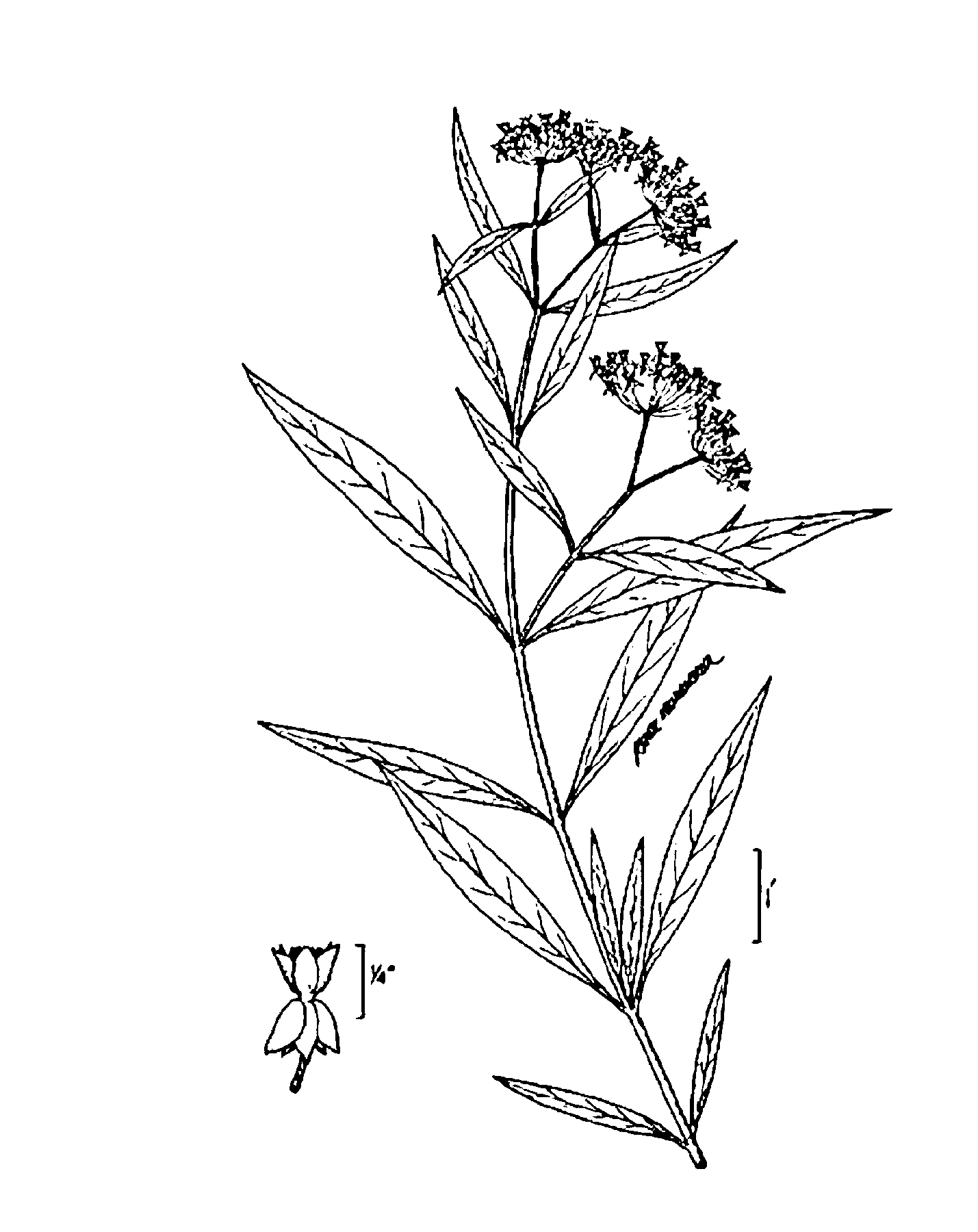 asclepias incarnata — THE NATIVE PLANT SOCIETY OF