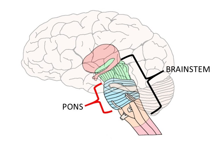 brain diagram pons corsa c stereo wiring know your neuroscientifically challenged