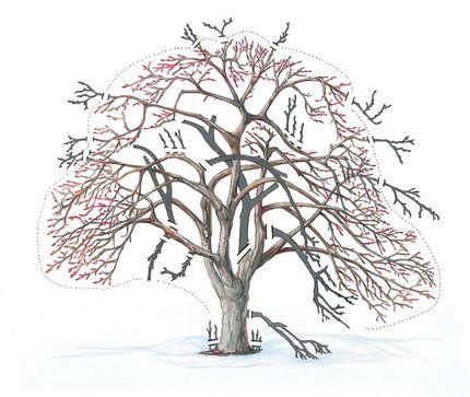 how to prune an apple tree diagram heating wiring multiple zones fruit | king garden designs