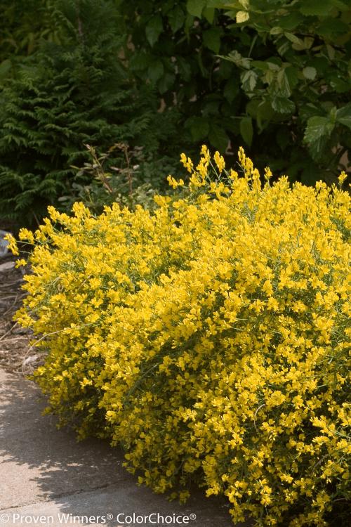 proven winner plants big bloomers