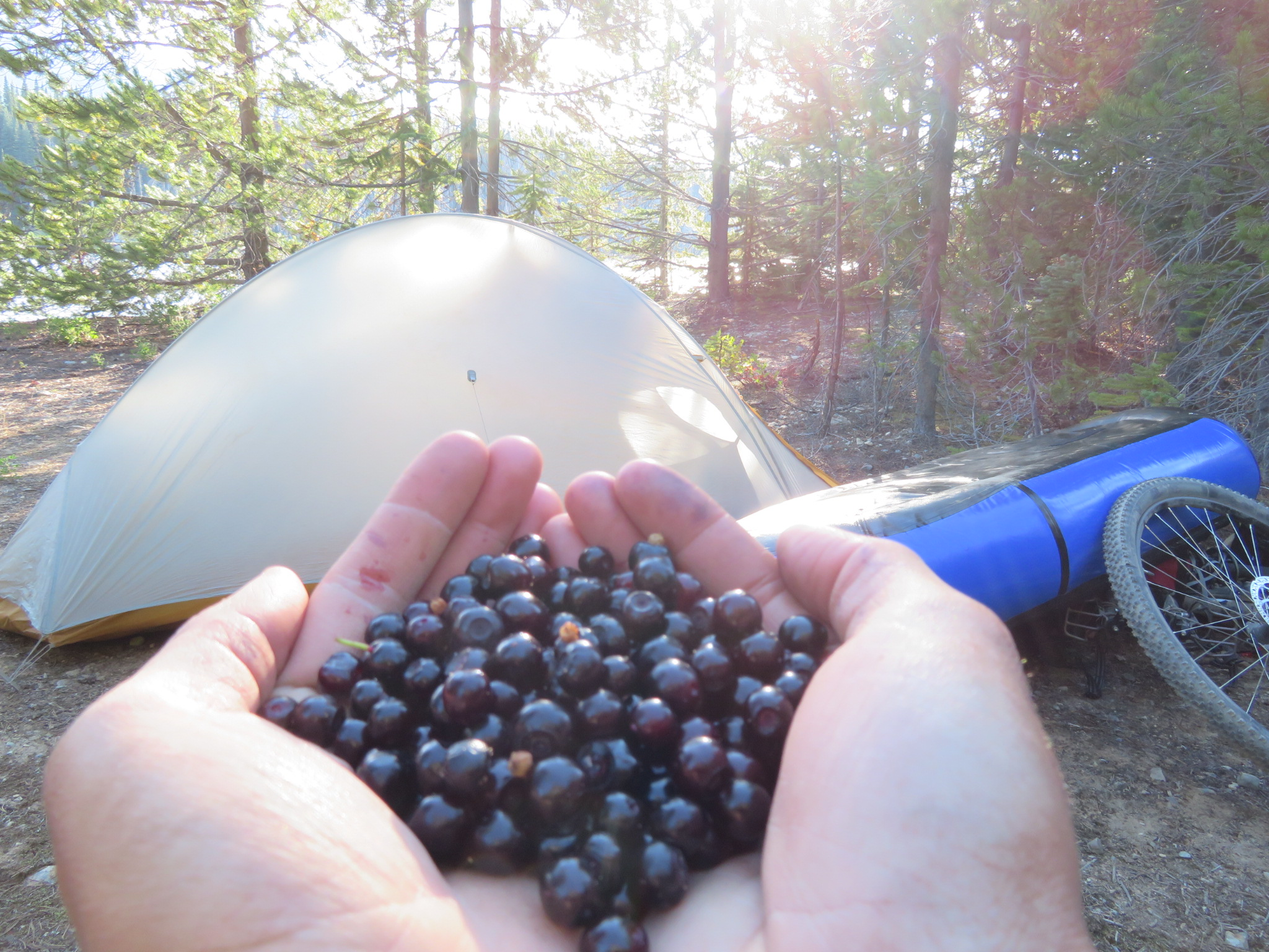 in a desperate move to keep my camp bear safe, I gathered as many huckleberries from the surrounding bushes as I could!