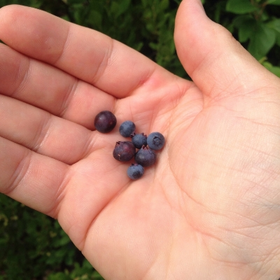 Huckleberries and blueberries from the forest. The blueberries were the sweetest I've ever had!