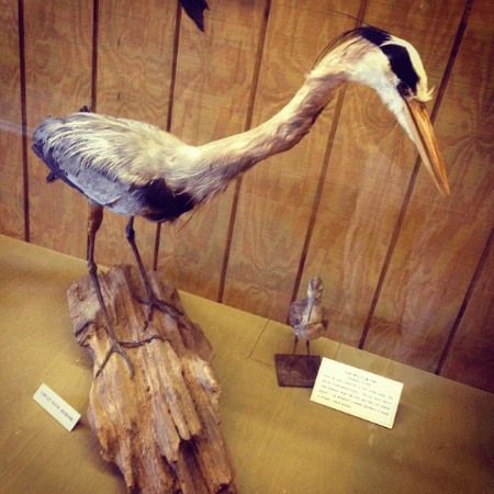 Taxidermied Great Blue Heron from the natural history collection at the Danville Science Center. This is a BIG, beautiful bird.