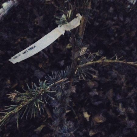 Tiny Weeping Atlas Cedar. Going to enjoy watching this one grow. Actually, there're a bunch of Cedars that're making me covetous.