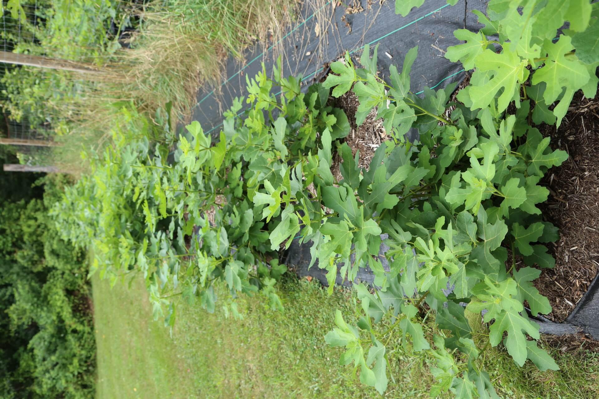medium resolution of a row of figs on drip irrigation