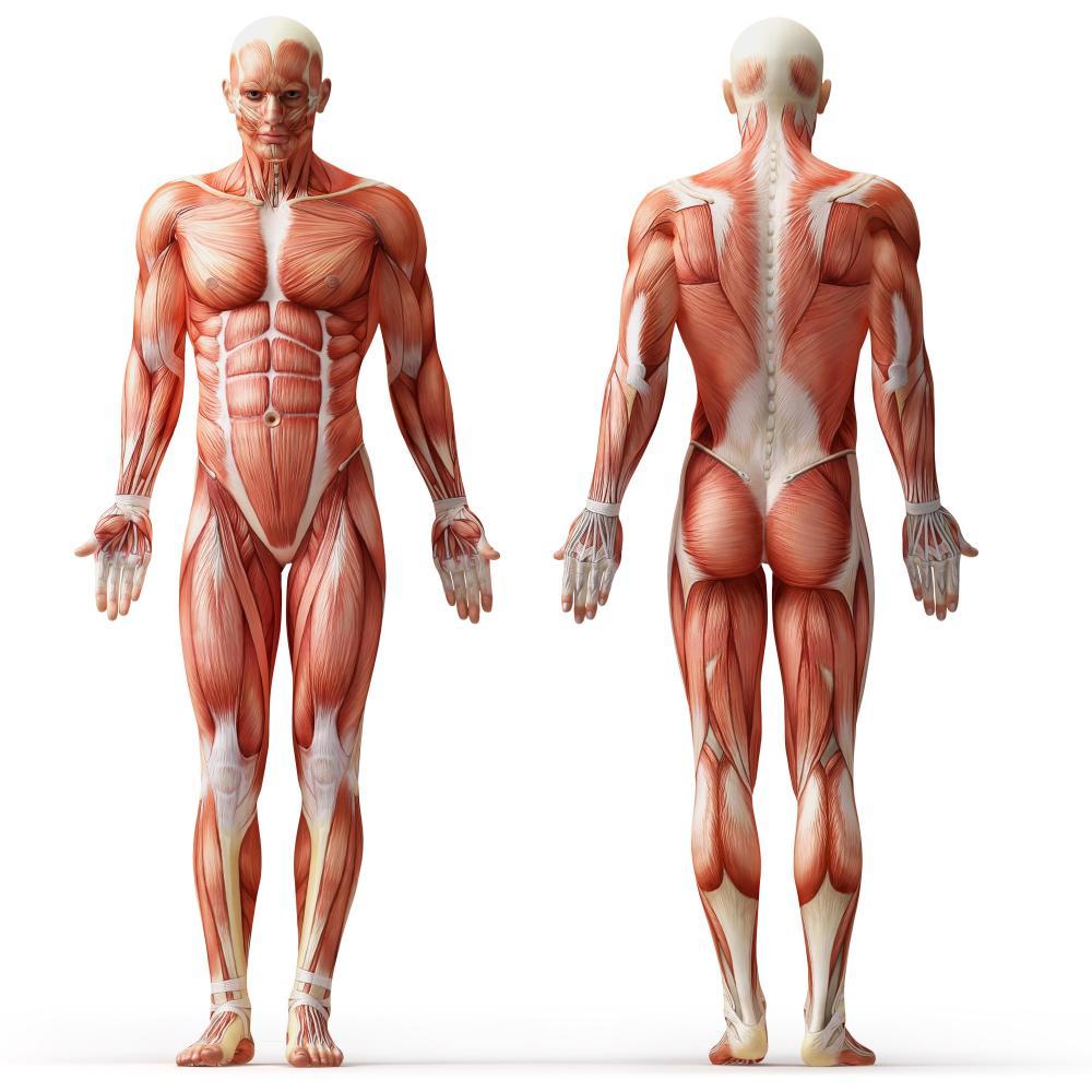 back muscle diagram massage [ 1000 x 1000 Pixel ]