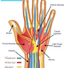 hand anatomy u2014 tuned in guitar lessonsguitarist u0027s hand anatomy [ 1000 x 1333 Pixel ]