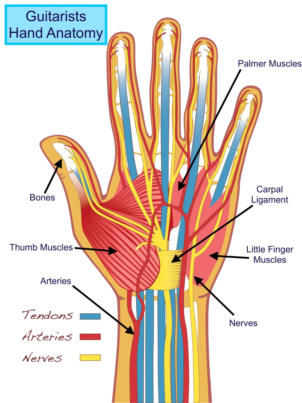 medium resolution of hand anatomy u2014 tuned in guitar lessonsguitarist u0027s hand anatomy