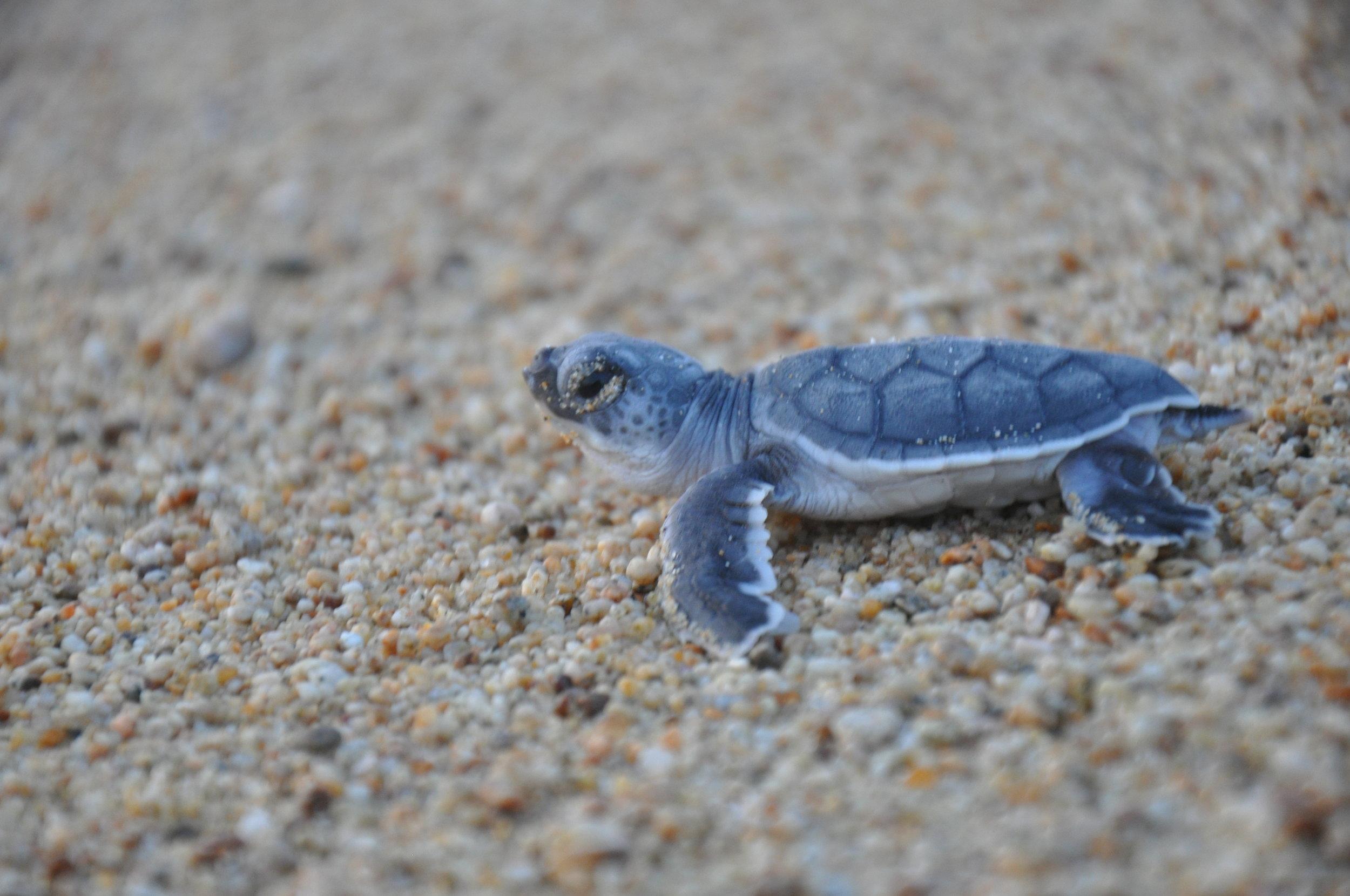 The Return Of The Black Turtle See Turtles