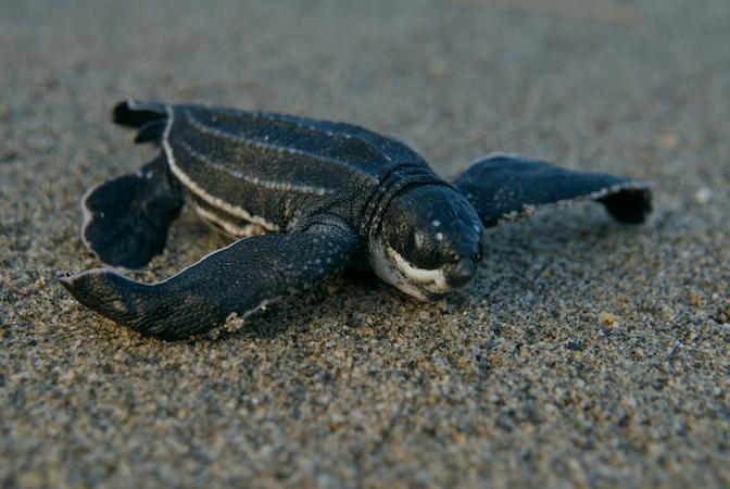 leatherback sea turtle food web diagram lock and key enzyme information see turtles life cycle