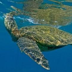 Leatherback Sea Turtle Food Web Diagram Federal Signal Wig Wag Wiring Diet See Turtles Hawaii Green Breathing Jpg Learn About The Favorite Foods