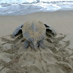 Leatherback Sea Turtle Food Web Diagram Free Uml Sequence Tool Diet See Turtles Keep Plastic Out Of The Ocean