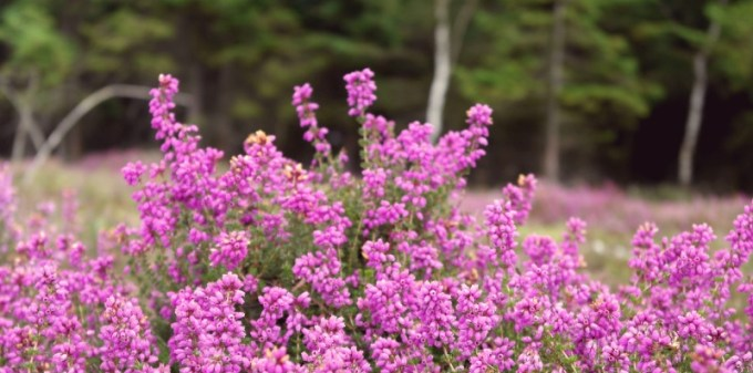 Heather in the New Forest