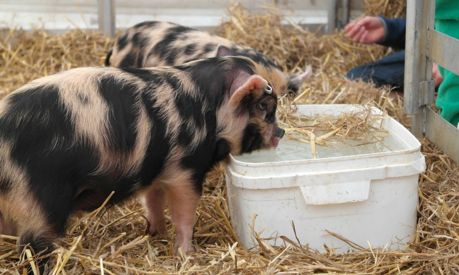 Pigs from Cotswold Farm Park at The Big Feastival 2013