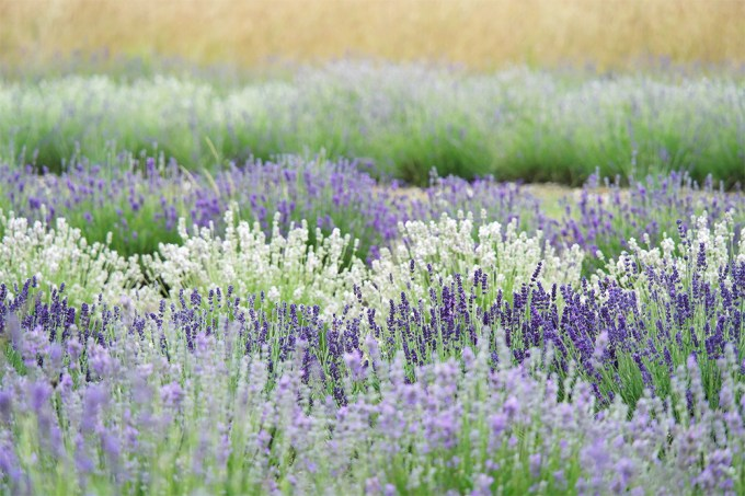 50 shades of lavender