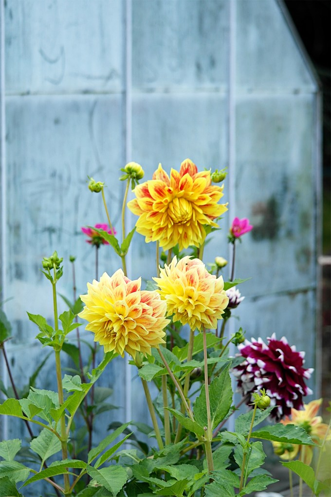 Dahlias by Grandads greenhouse