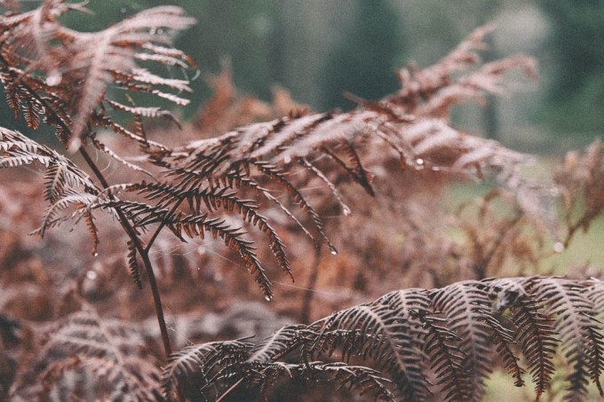 The morning dew on Autumnal ferns