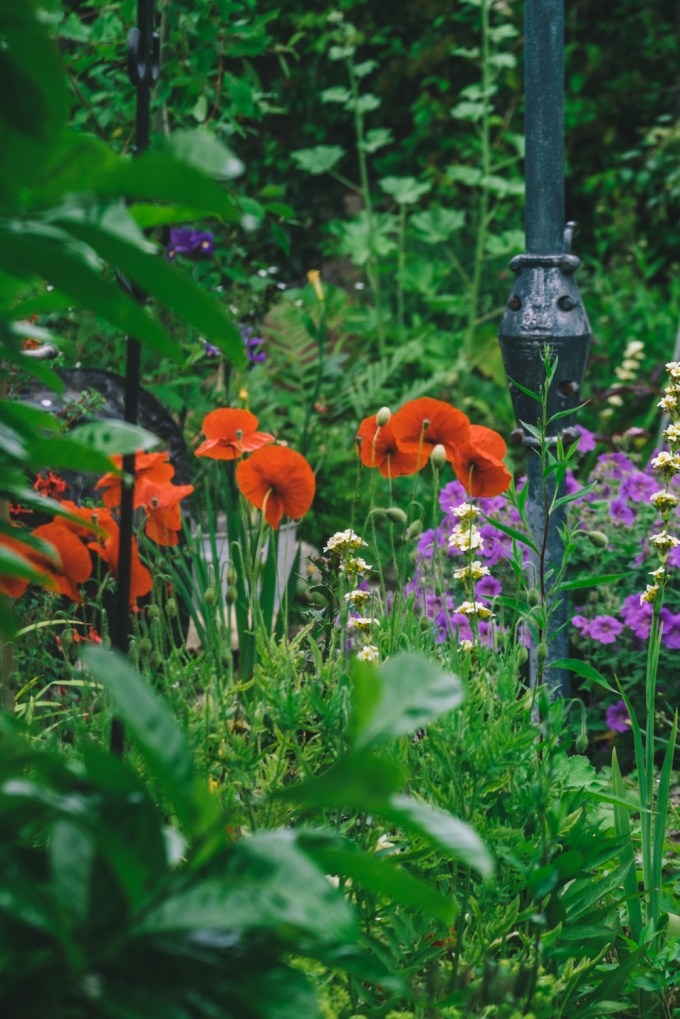 Poppies in an English Country Garden