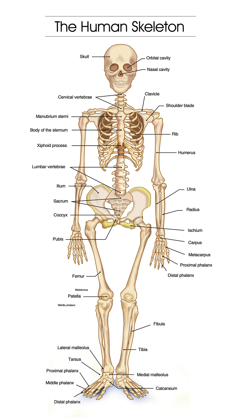 medium resolution of the skeleton has its own architectural logic years can be spent studying the interaction between muscles and bones nerves and circulation