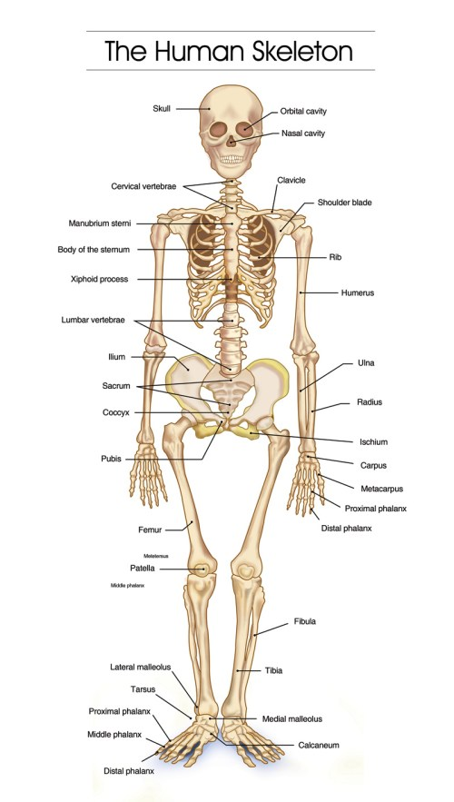 small resolution of the skeleton has its own architectural logic years can be spent studying the interaction between muscles and bones nerves and circulation
