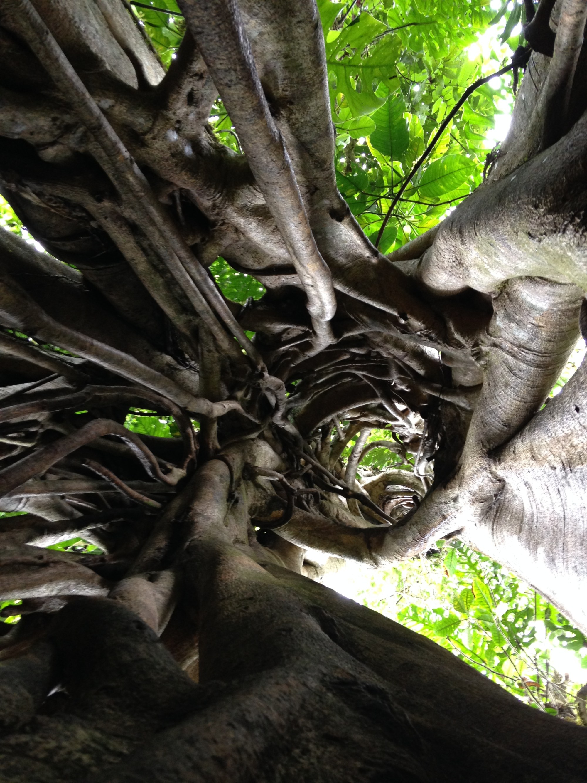 hight resolution of the hollow center of an ancient strangler fig where its host tree once grew and has