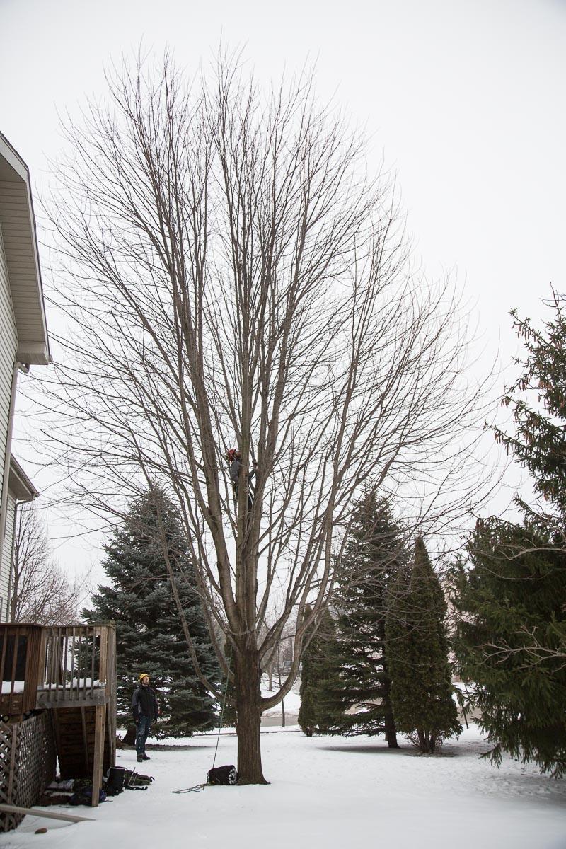 Autumn Blaze Maples A Beautiful Fragile Tree That Needs Regular Care