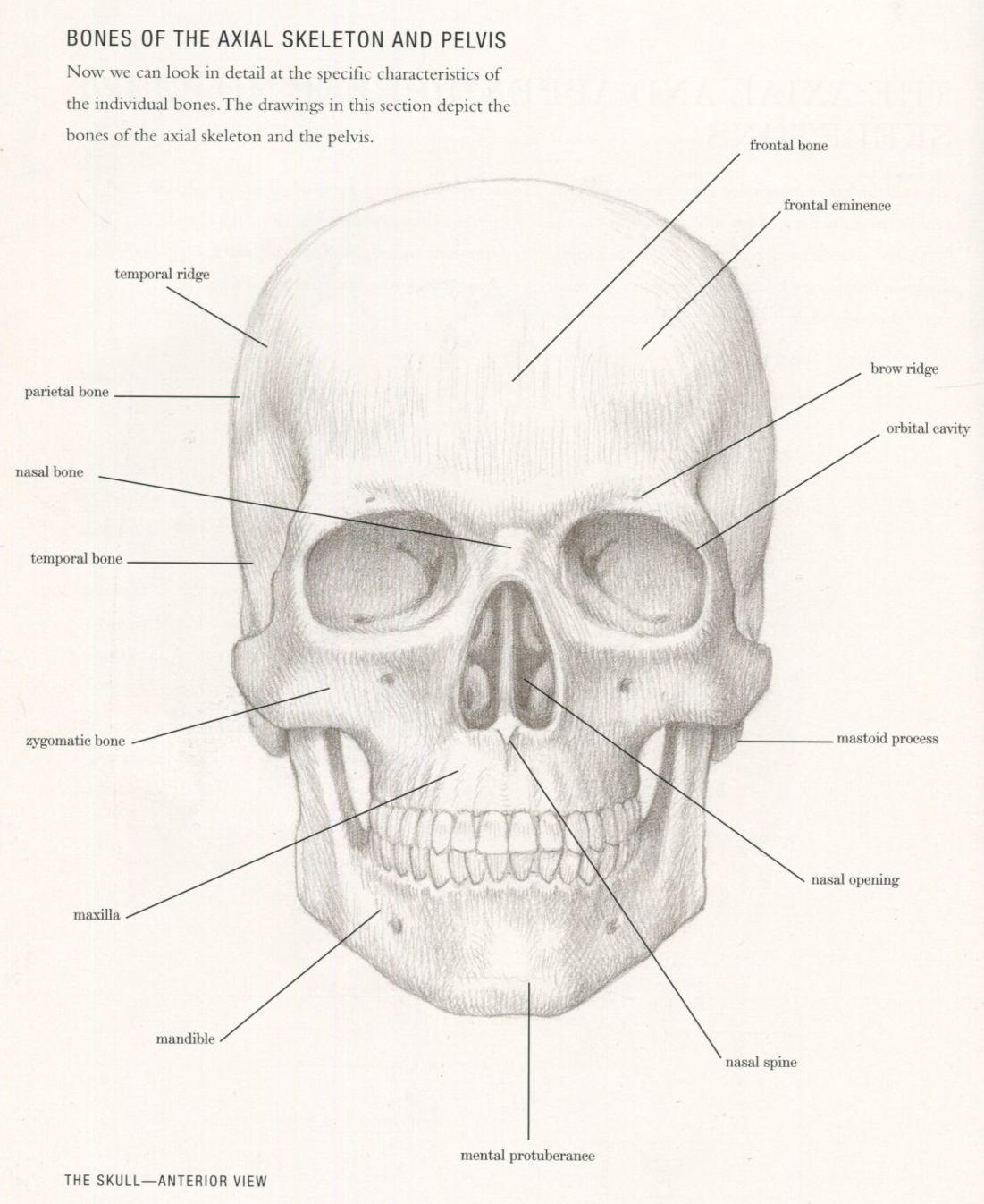 all images taken from basic human anatomy by roberto osti [ 1101 x 1346 Pixel ]