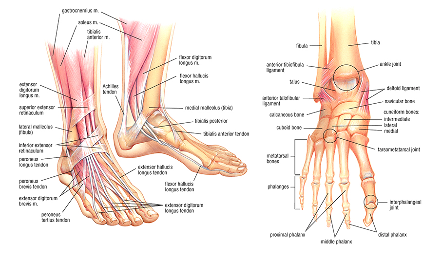 bones in your foot diagram mercedes r129 wiring diagrams a meet and greet for feet barrie risman yoga