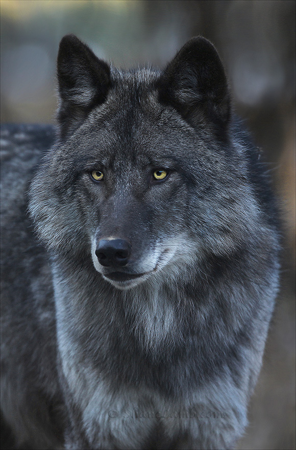 Black Wolf Portrait  Shane Lamb Gallery