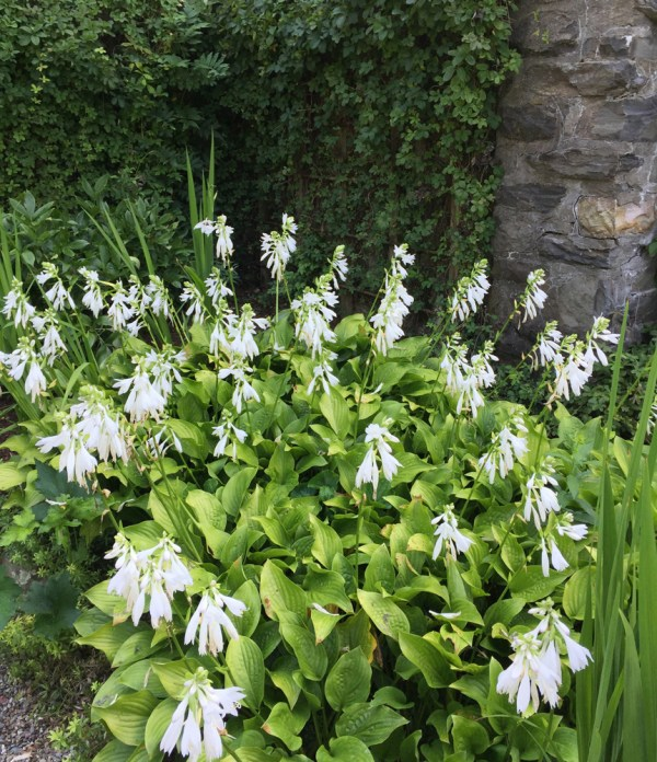 20 Hostas Flowers Pictures And Ideas On Stem Education Caucus