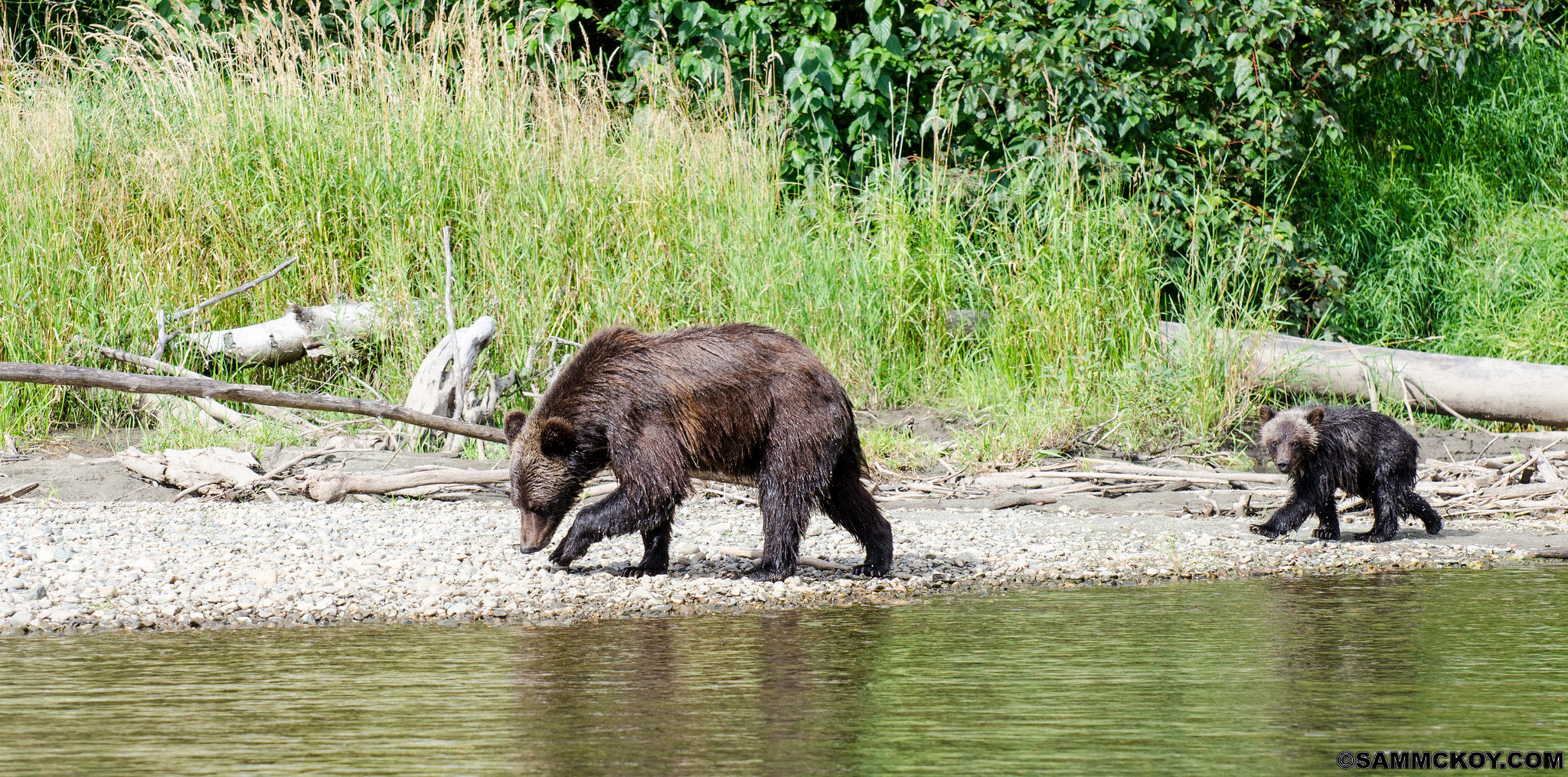 understanding the grizzly bear trophy hunt in bc [ 2048 x 1015 Pixel ]
