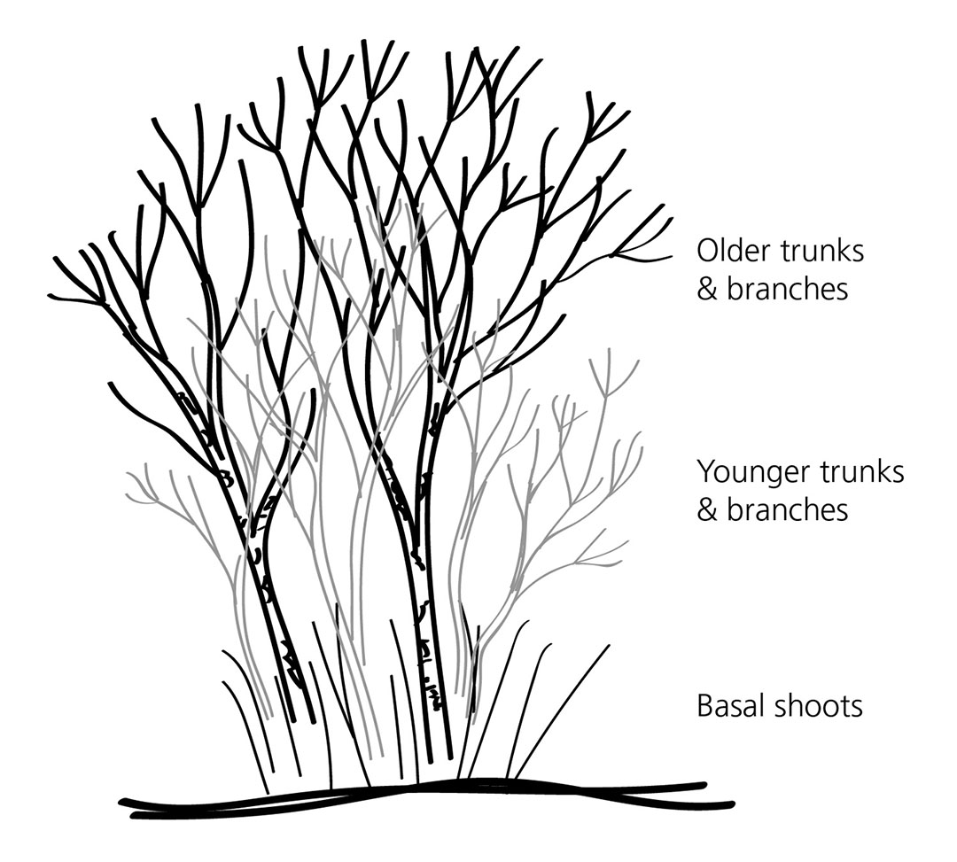 hight resolution of diagram of our lilac shrub not including leaves or flowers