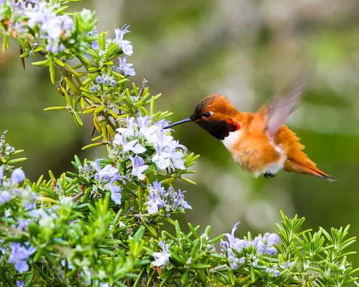 Hummingbird on Rosemary  photo: Chris Bidleman Photography