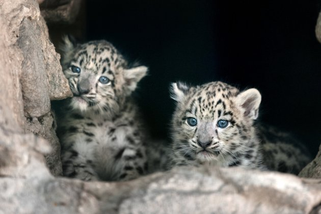 Image result for snow leopards cats